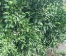 Annuncio vendita Cabras frutteto orticello