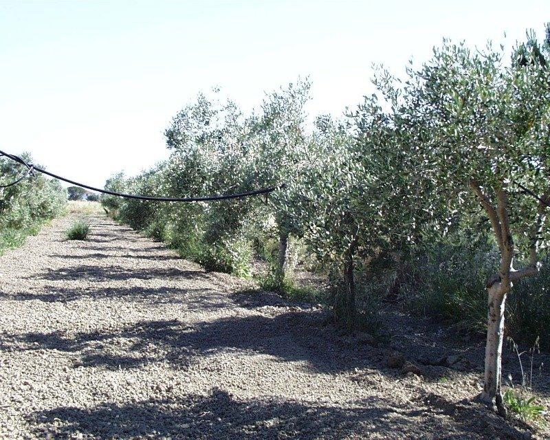 Grosseto uliveto con annesso agricolo a Grosseto in Vendita