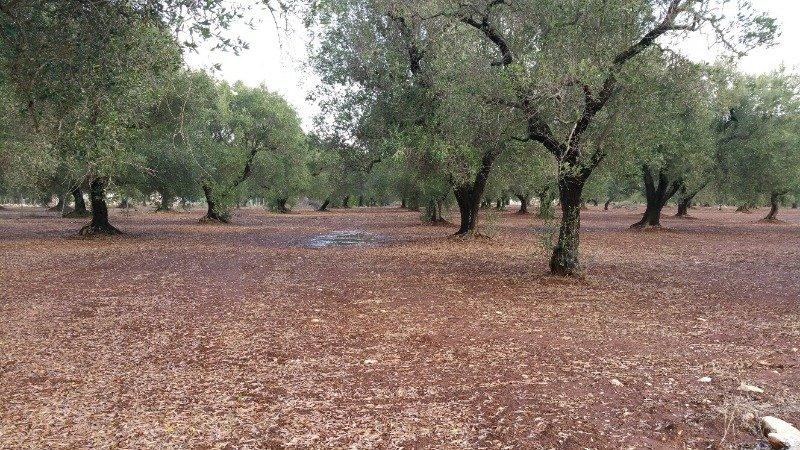 Latiano oliveto secolare in località Sardella a Brindisi in Vendita