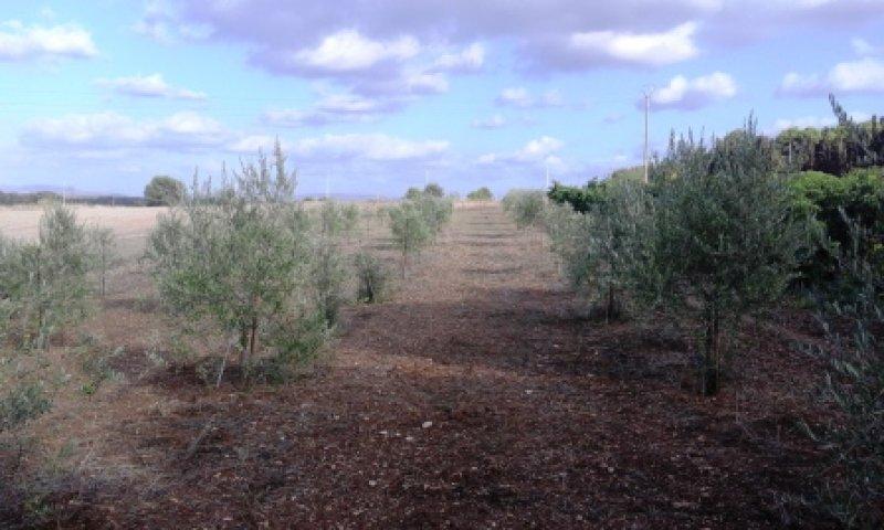 Olmedo strada vecchia per Sassari terreno agricolo a Sassari in Vendita