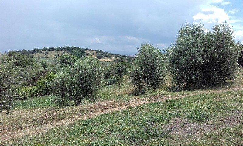 Castiglione della Pescaia terreno uliveto a Grosseto in Vendita