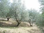 Annuncio vendita Oliveto in zona Torbecchia Arcigliano
