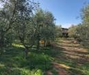 Annuncio vendita Follonica terreno agricolo con piante di olivo