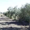 foto 0 - Grosseto uliveto con annesso agricolo a Grosseto in Vendita
