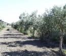 Annuncio vendita Grosseto uliveto con annesso agricolo