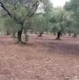 foto 5 - Latiano oliveto secolare in località Sardella a Brindisi in Vendita