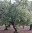 foto 4 - Latiano oliveto secolare in località Sardella a Brindisi in Vendita