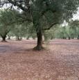 foto 1 - Latiano oliveto secolare in località Sardella a Brindisi in Vendita