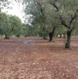 foto 0 - Latiano oliveto secolare in località Sardella a Brindisi in Vendita