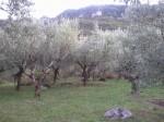 Annuncio vendita Sgurgola oliveto